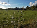 Lehmia Viikin laitumella